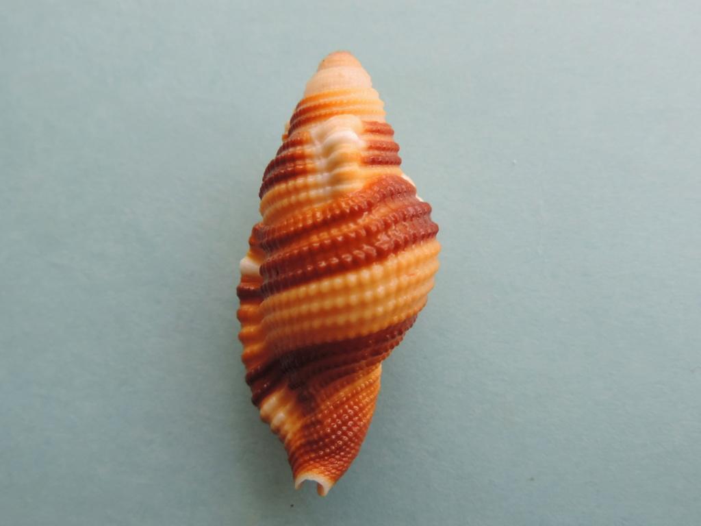Septa flaveola - (Röding, 1798)  Dscn9822