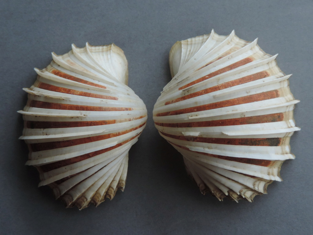 Cardium costatum - Linnaeus, 1758  Dscn9824
