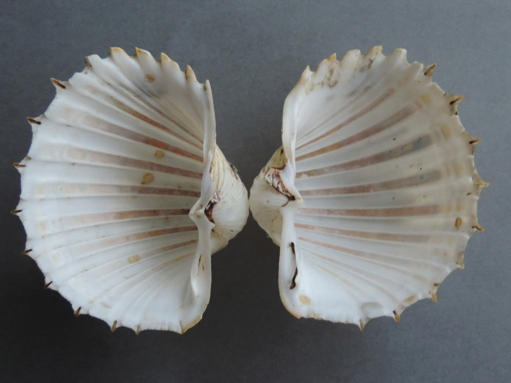 Cardium costatum - Linnaeus, 1758  Dscn9825