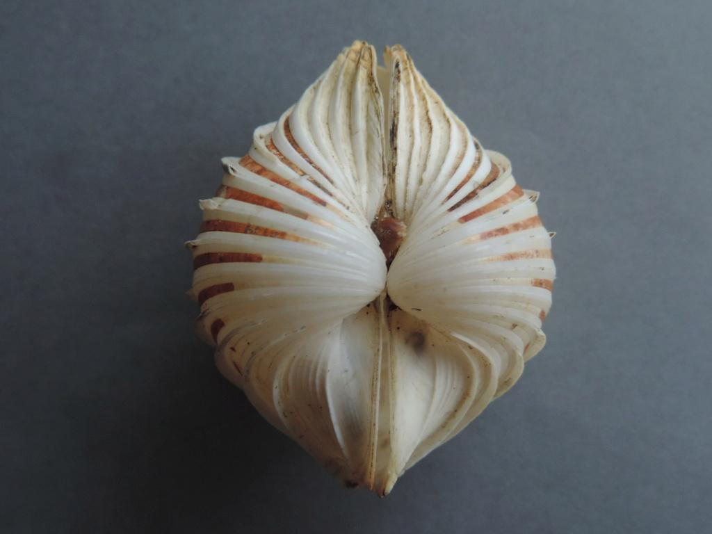 Cardium costatum - Linnaeus, 1758  Dscn9826