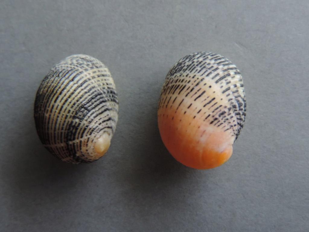 Mienerita debilis  - Dufo, 1840 - Dscn9827
