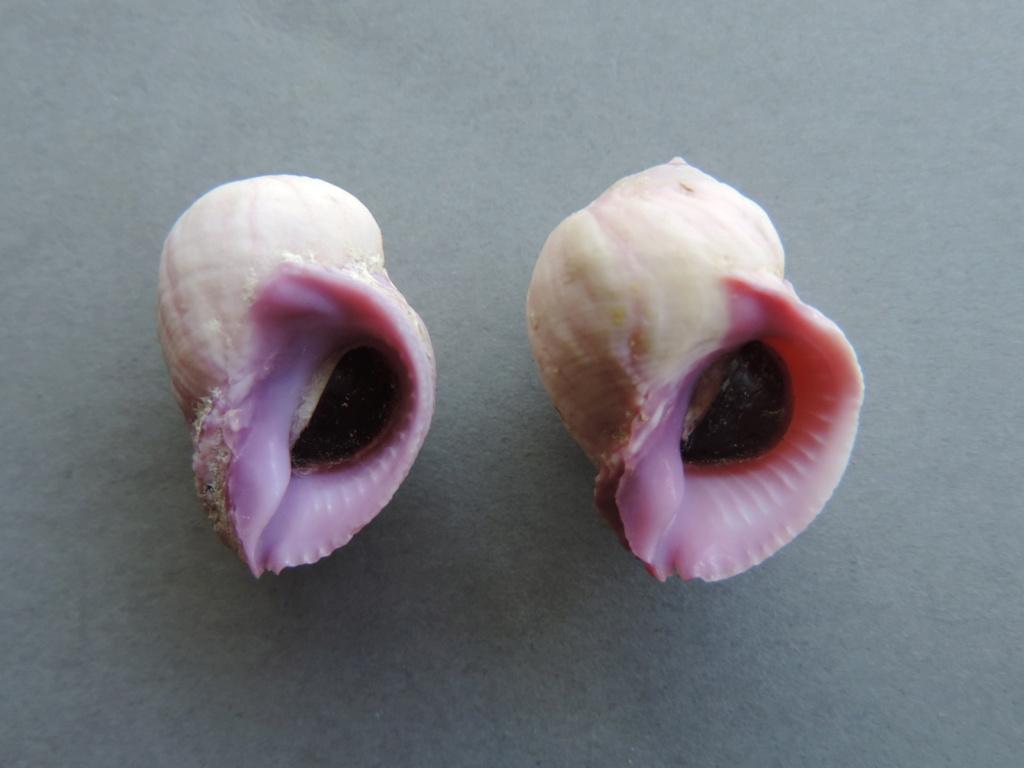 Coralliophila violacea - (Kiener, 1836) Dscn9853