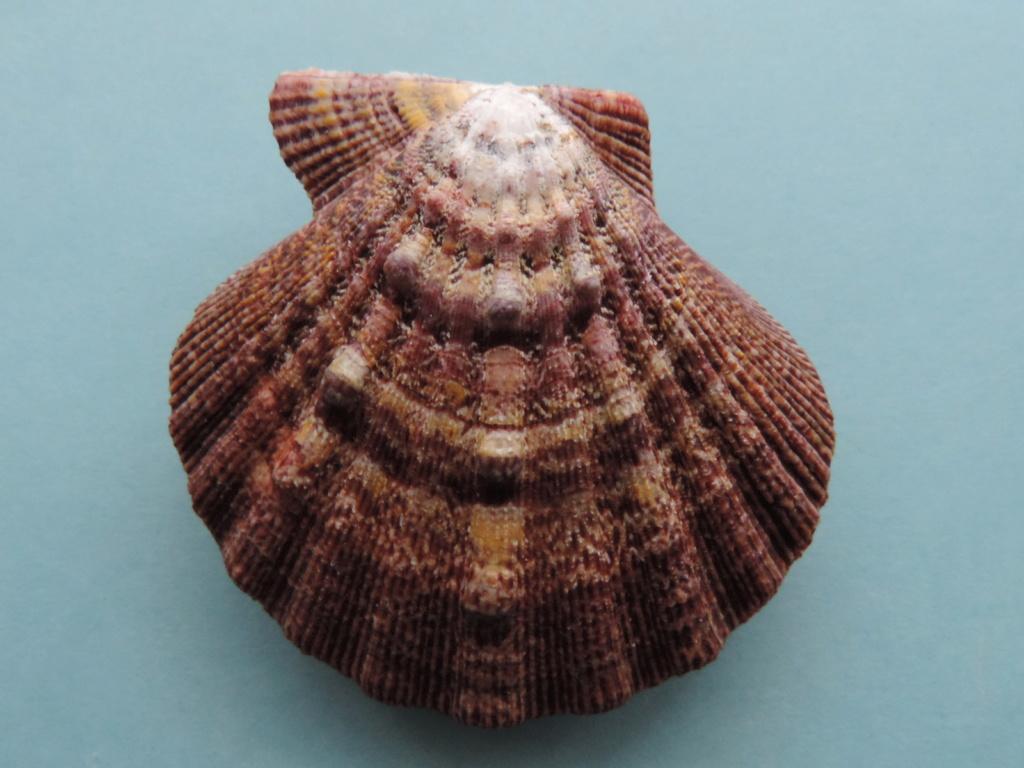 Nodipecten subnodosus - (G. B. Sowerby I, 1835) Dscn9912