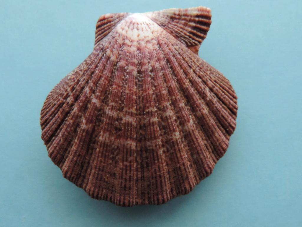 Nodipecten subnodosus - (G. B. Sowerby I, 1835) Dscn9913