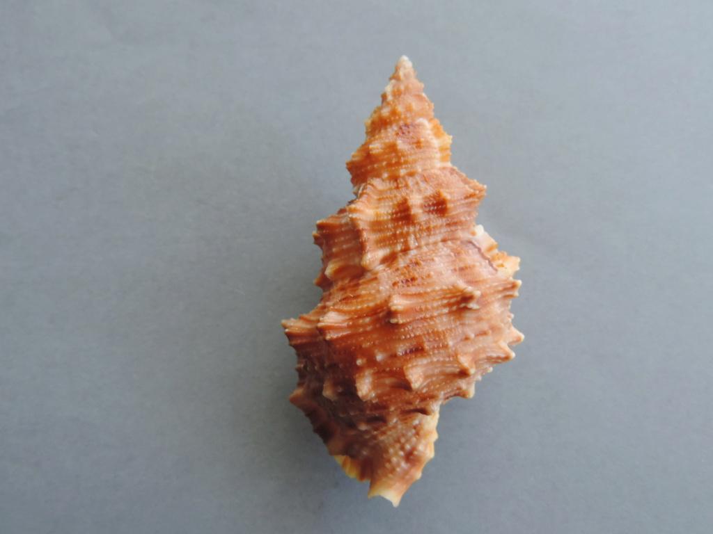 Bursa latitudo wolfei - (Beu, 1981) voir Tritonoranella latitudo - Garrard, 1961 Dscn9972