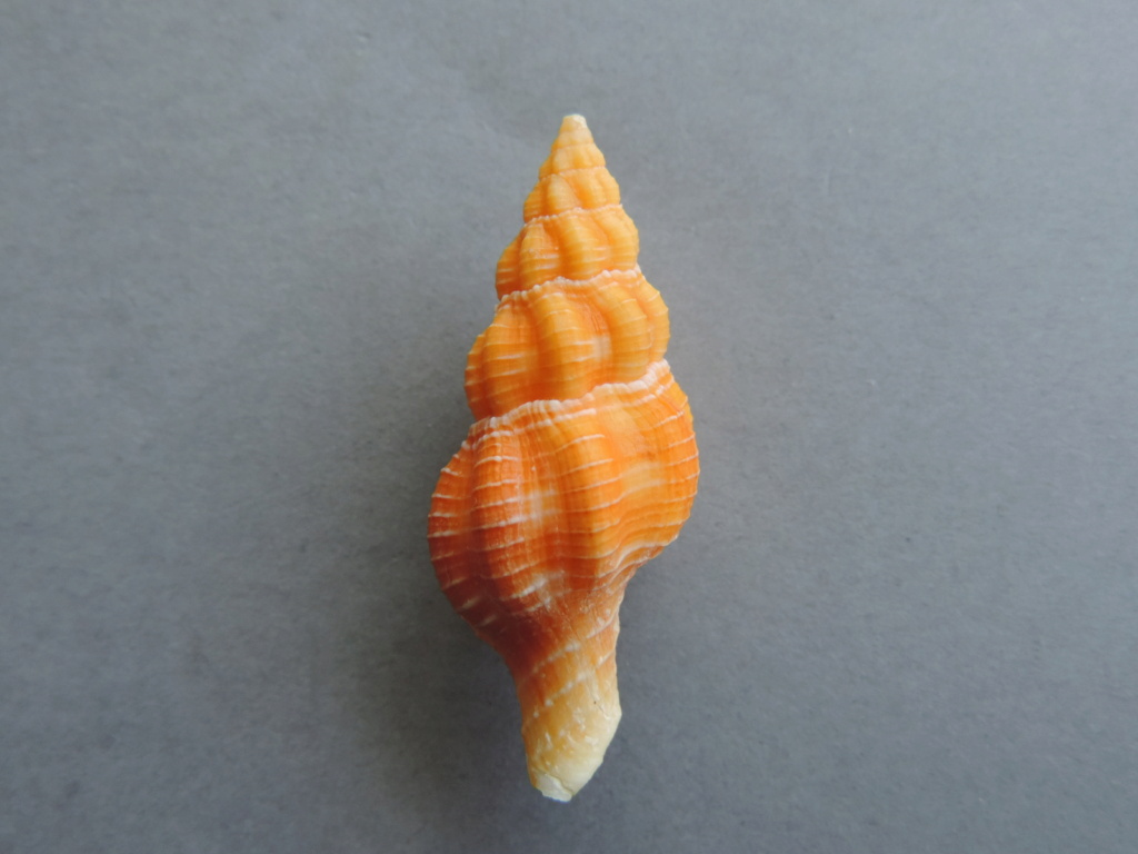 Fusolatirus sarinae - (Snyder, 2003) Dscn9975