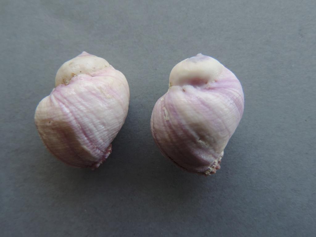 Coralliophila violacea - (Kiener, 1836) Dscn9976