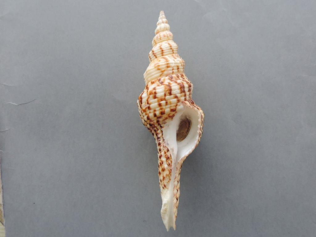 Fusinus laticostatus - (Deshayes, 1830)  Dscn9991