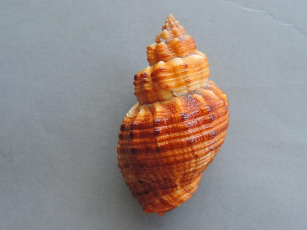 Cantharus melanostoma - (Sowerby I, 1825) Dscn9992