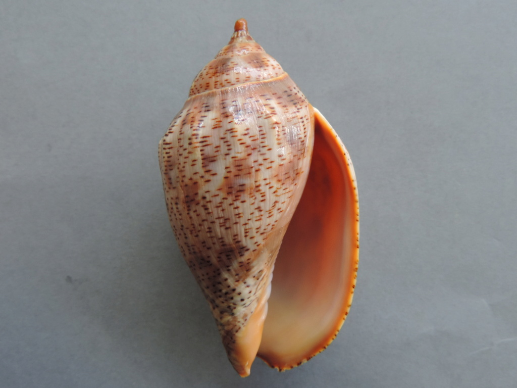 Harpulina lapponica - (Linnaeus, 1767) Dscn9994