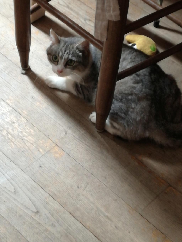 Lichie jeune chatte tigrée grise et blanche, née le 01 janvier 2015 Img_2013