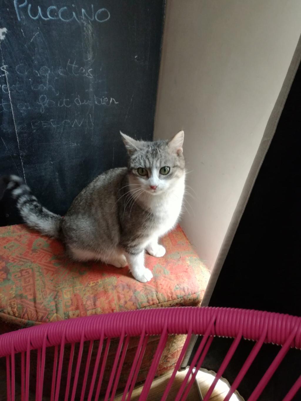 Lichie jeune chatte tigrée grise et blanche, née le 01 janvier 2015 Img_2015