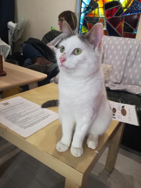Ouaness, jeune chat gris et blanc né en novembre 2017 Img_2020