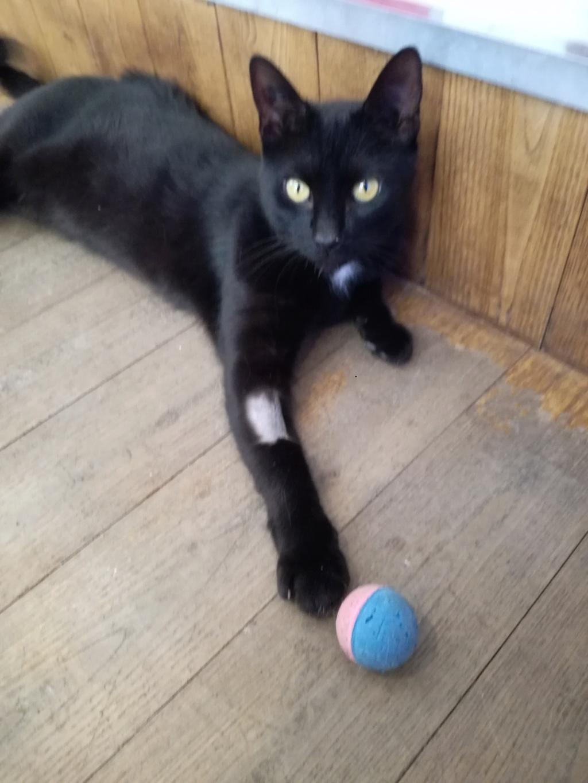 LYVIO chat europeen noir né en juillet 2015 Lyvio10
