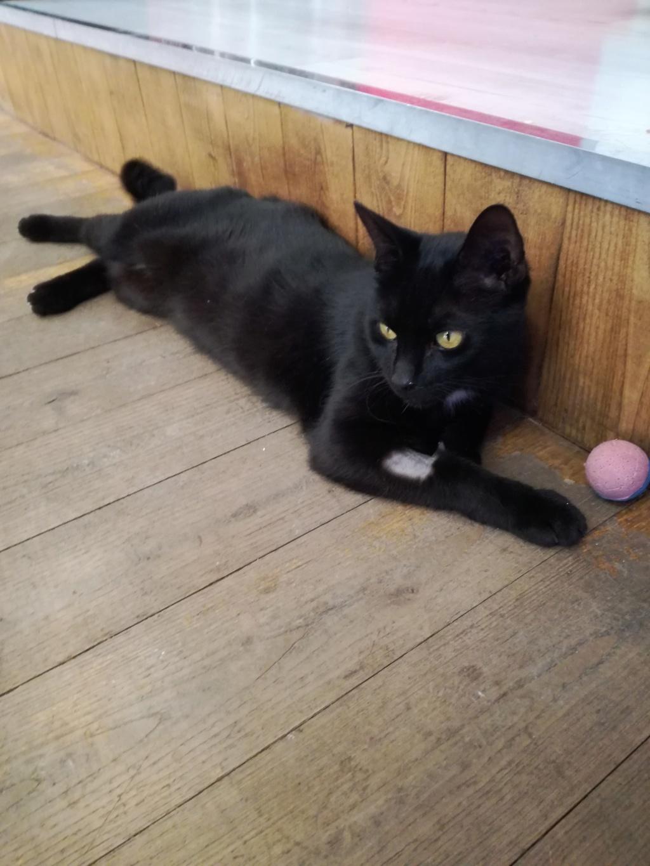 LYVIO chat europeen noir né en juillet 2015 Lyvio110