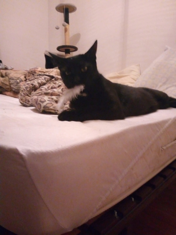 LYVIO chat europeen noir né en juillet 2015 Lyvio310