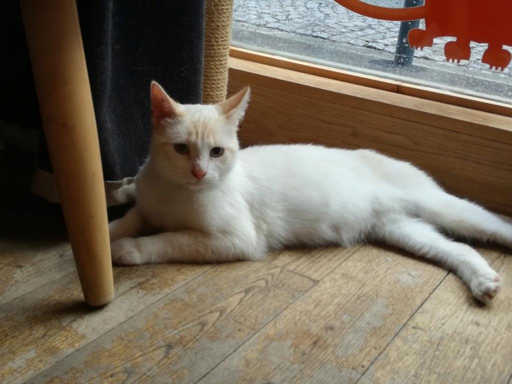 Navalo chat mâle red point européen né le 21 août 2017 Navalo10