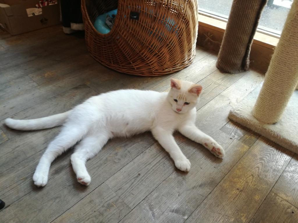 Navalo chat mâle red point européen né le 21 août 2017 Navalo11