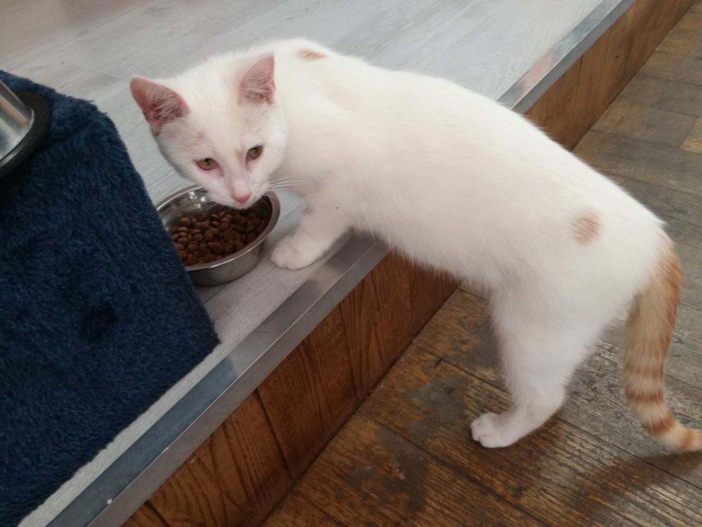 Plumo chaton blanc né le 13 avril 2019 Plumo10