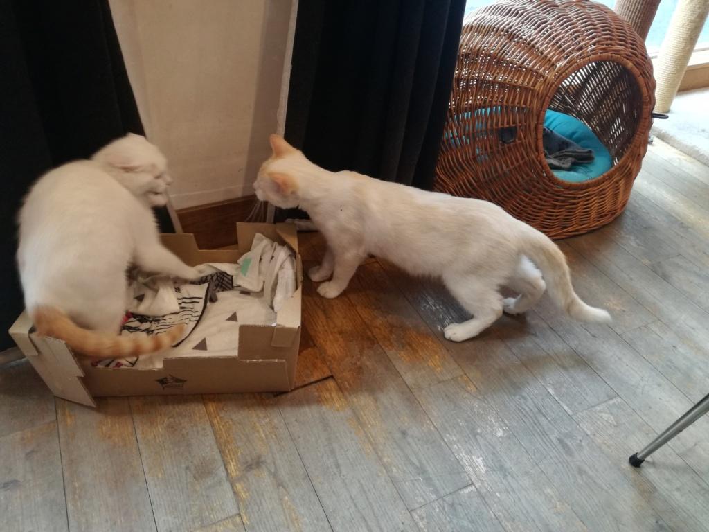 Plumo chaton blanc né le 13 avril 2019 Plumo_10