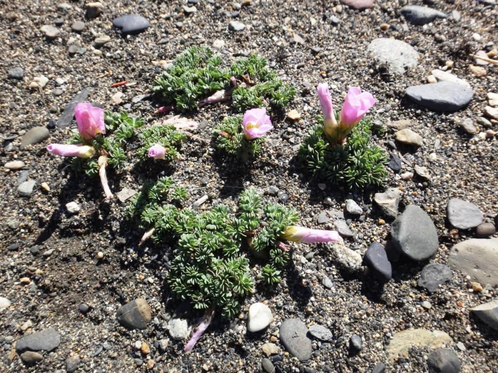 Flore, faune et paysages de Patagonie australe - Page 2 12-oxa10