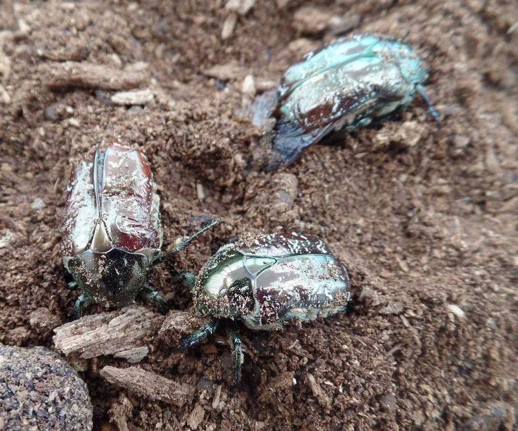 Elevage larves de cétoines Eclosi10