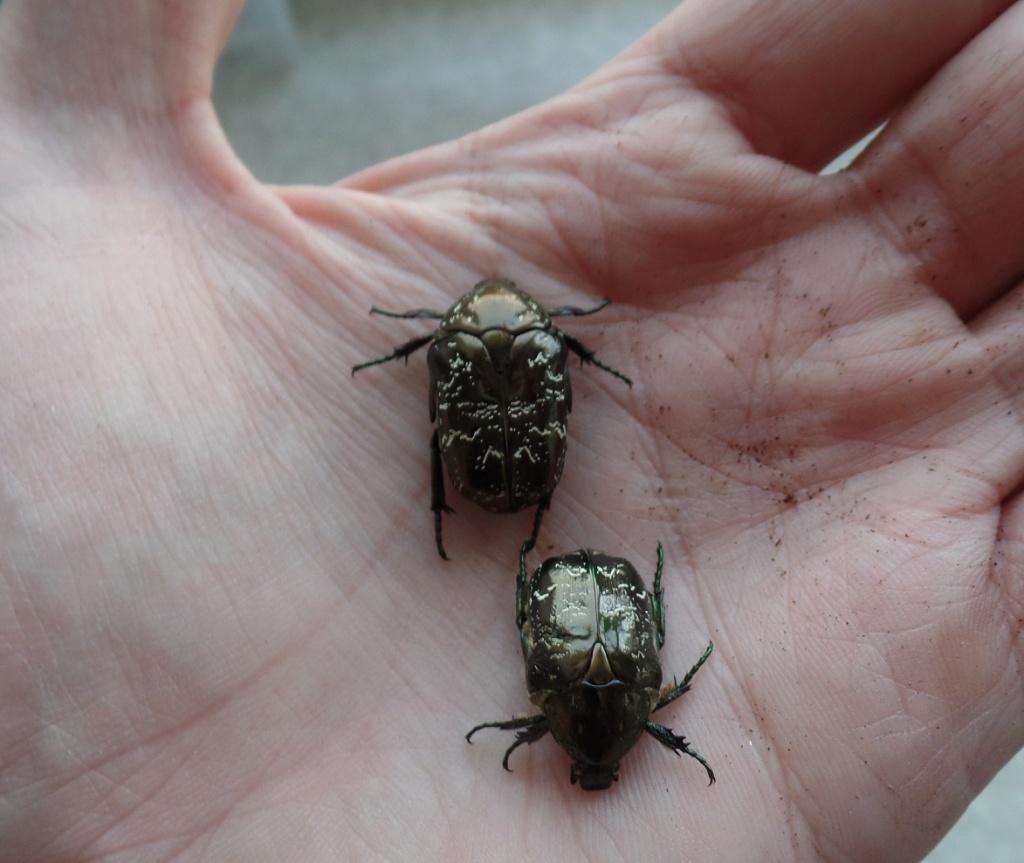 Elevage larves de cétoines Eclosi11