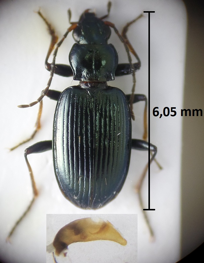 Bembidion tibiale Montag15