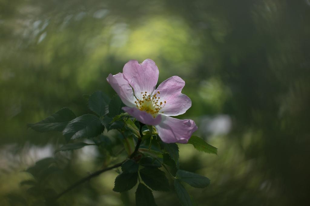 [Macro_et_Proxy] Fleur rose (Eglantier?) Dsc_5610