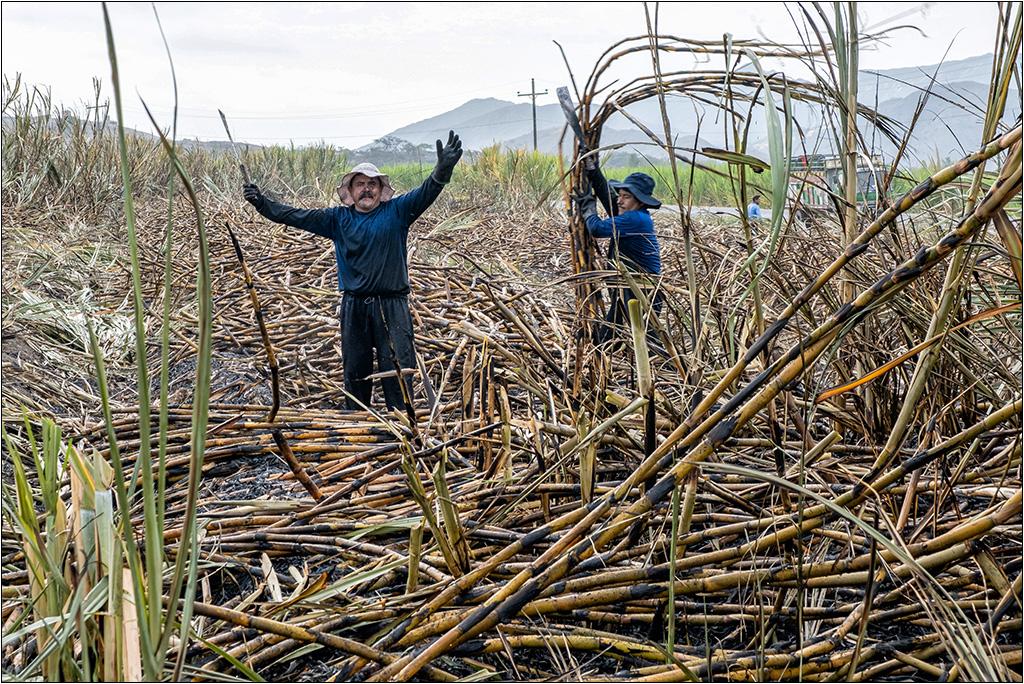 [Petite_série] Dans les champs de cannes à sucre Dscf5110