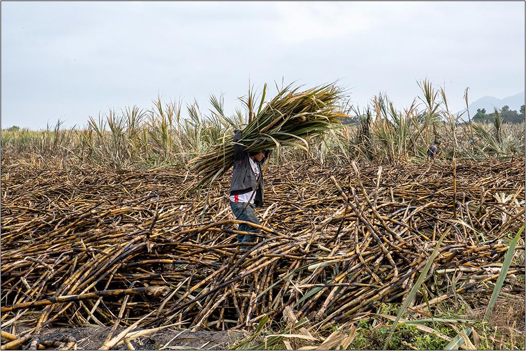 [Petite_série] Dans les champs de cannes à sucre Dscf5112