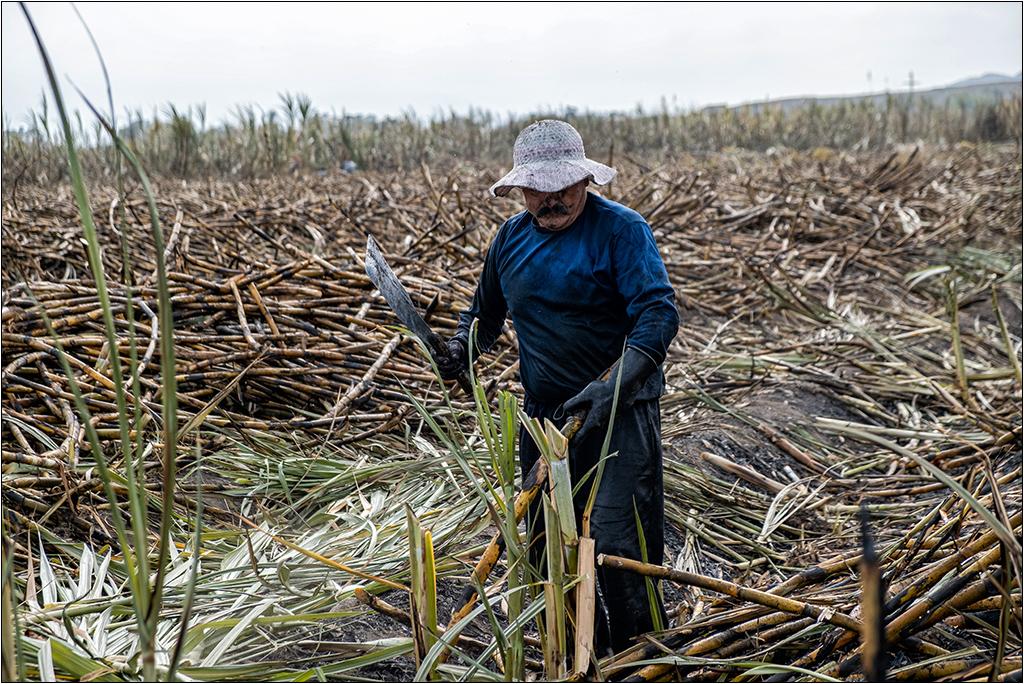 [Petite_série] Dans les champs de cannes à sucre Dscf5113