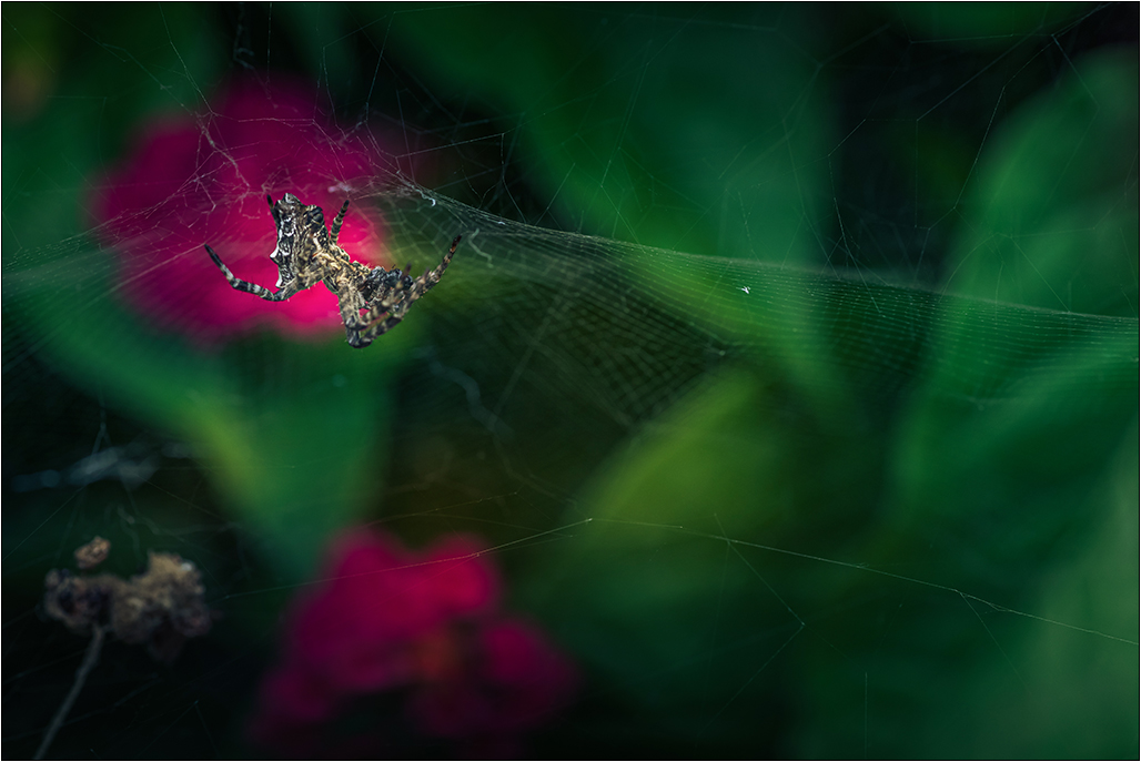 [Macro_et_Proxy] L'araignée Img_4120