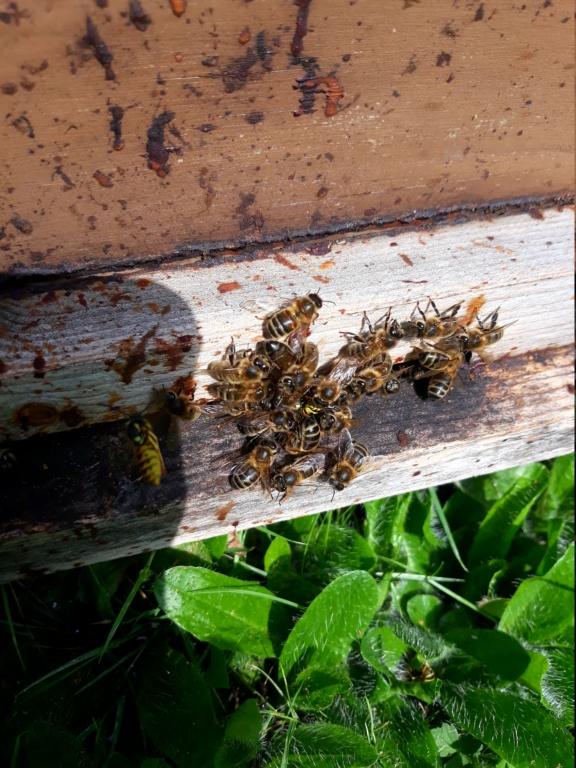 Les auxiliaires du jardinier : l'abeille noire (Apis mellifera mellifera) - Page 2 20180817