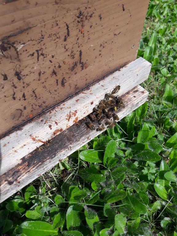 Les auxiliaires du jardinier : l'abeille noire (Apis mellifera mellifera) - Page 2 20180818