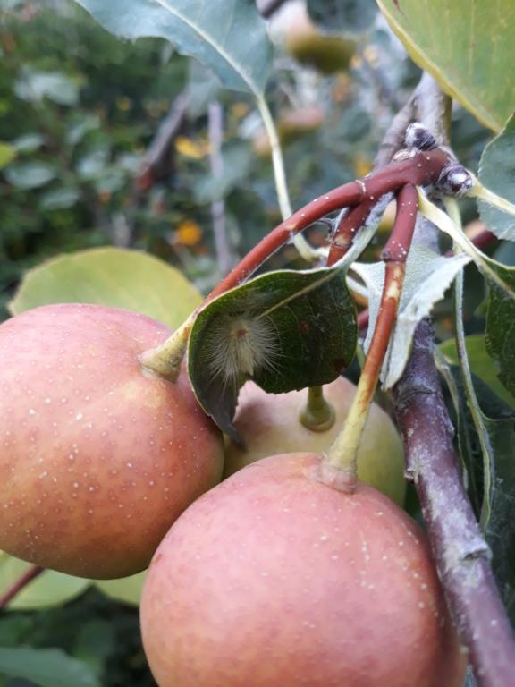 Sorbopyrus auricularis : une curiosité botanique originaire de Bollwiller. 20180820