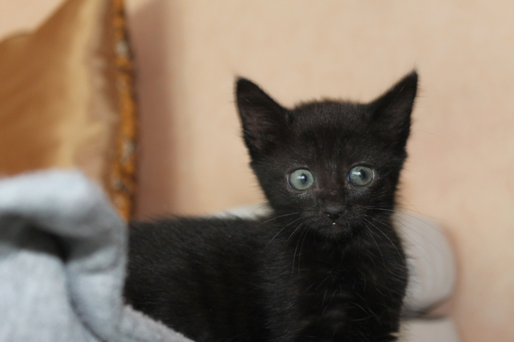 OSAKA - femelle type européen noire - née le 01/07/2018 Img_8716