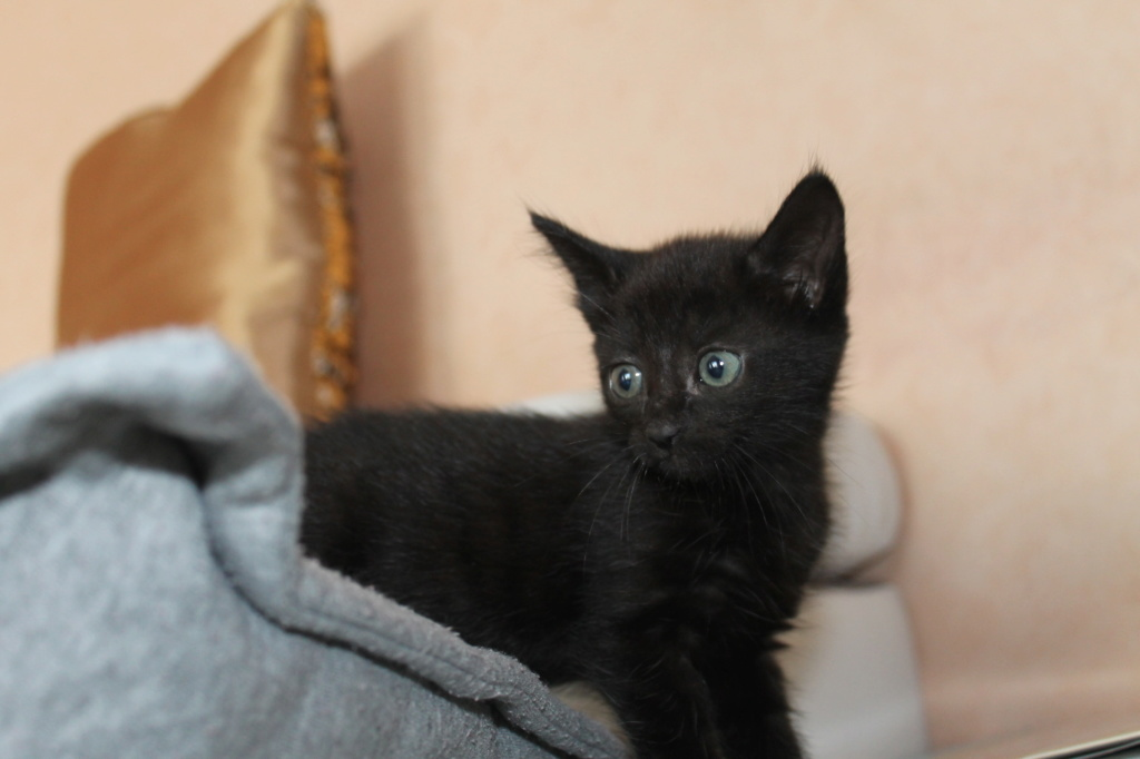 OSAKA - femelle type européen noire - née le 01/07/2018 Img_8717