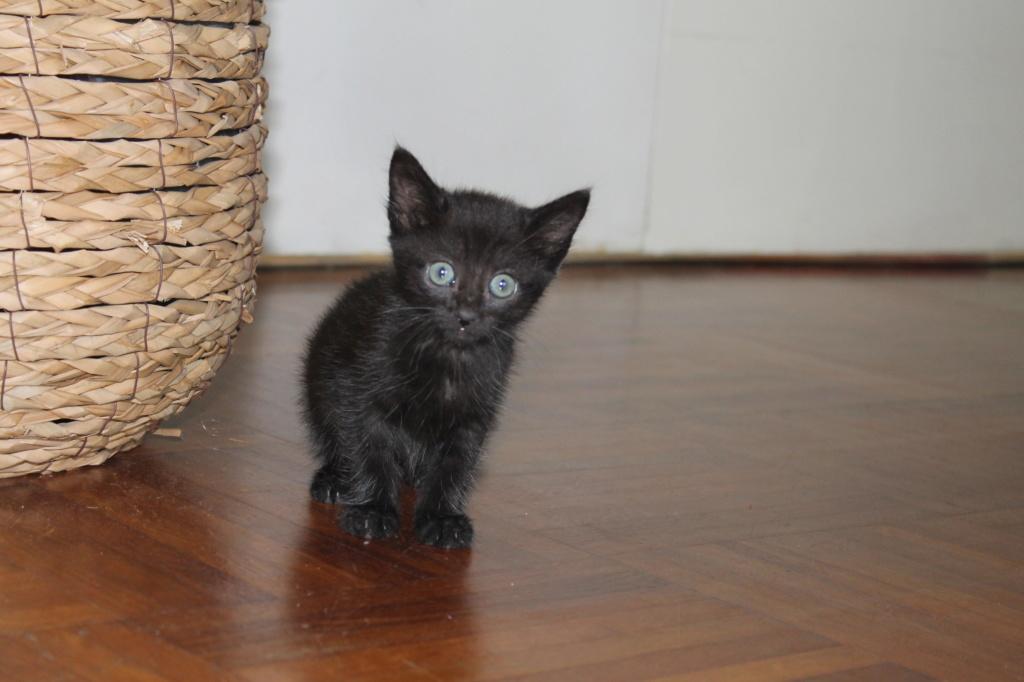 OSAKA - femelle type européen noire - née le 01/07/2018 Img_8718