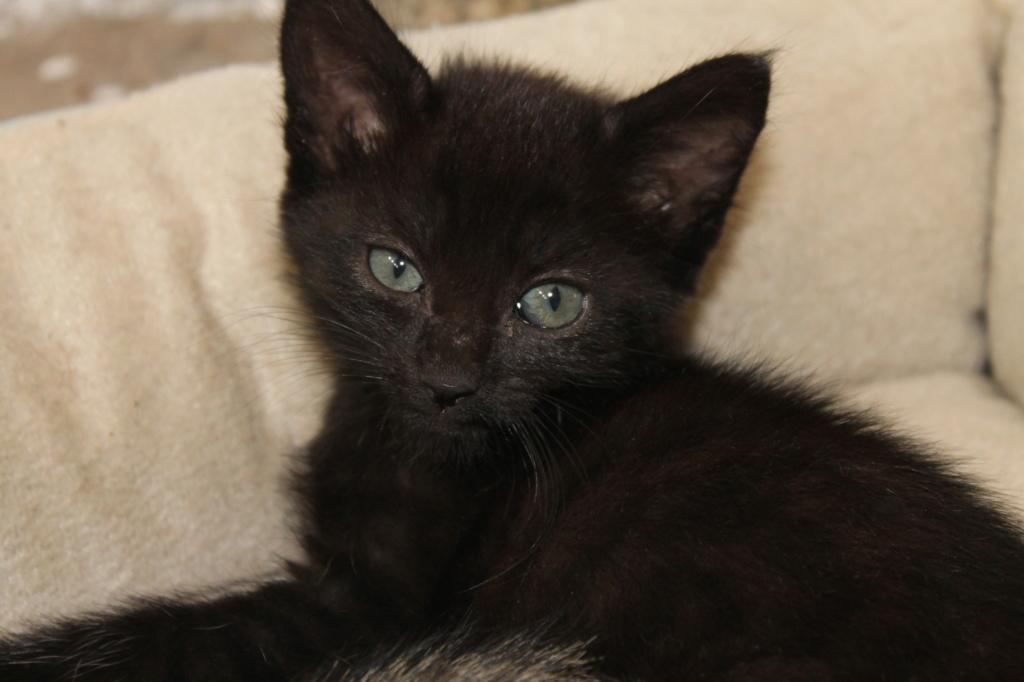 OSAKA - femelle type européen noire - née le 01/07/2018 Img_8719