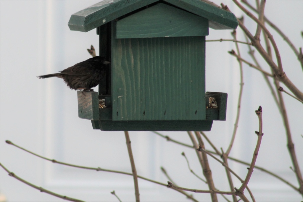 Oiseau mystère à la mangeoire Image110