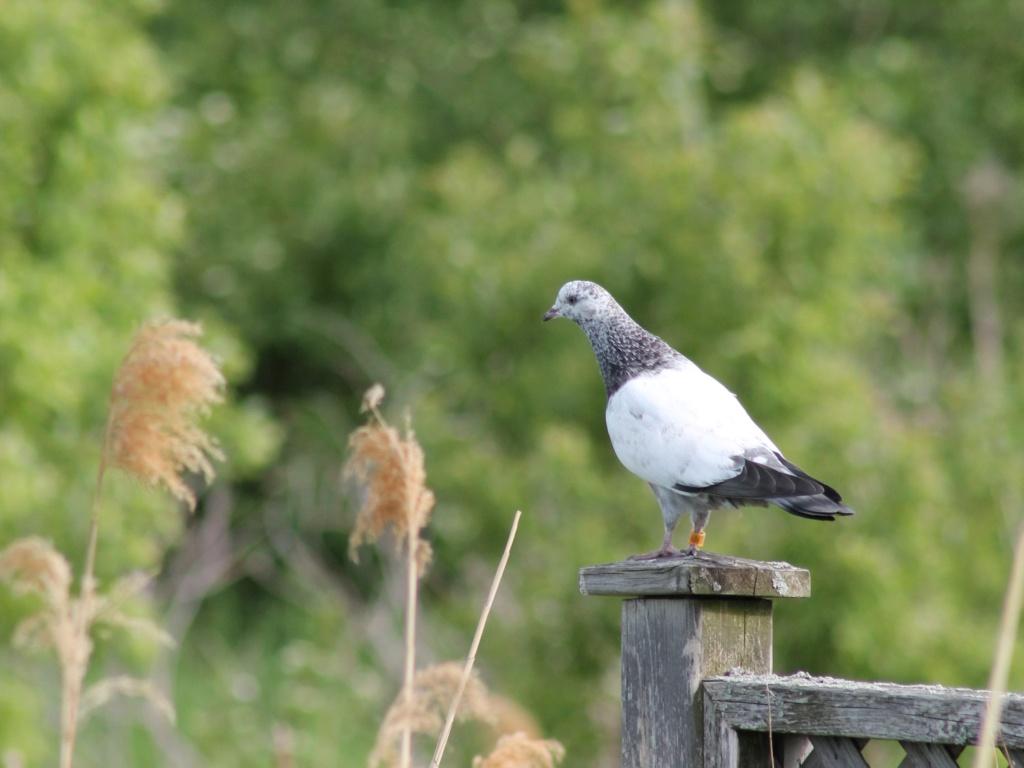 Mystérieux oiseau en vol Pigeon10