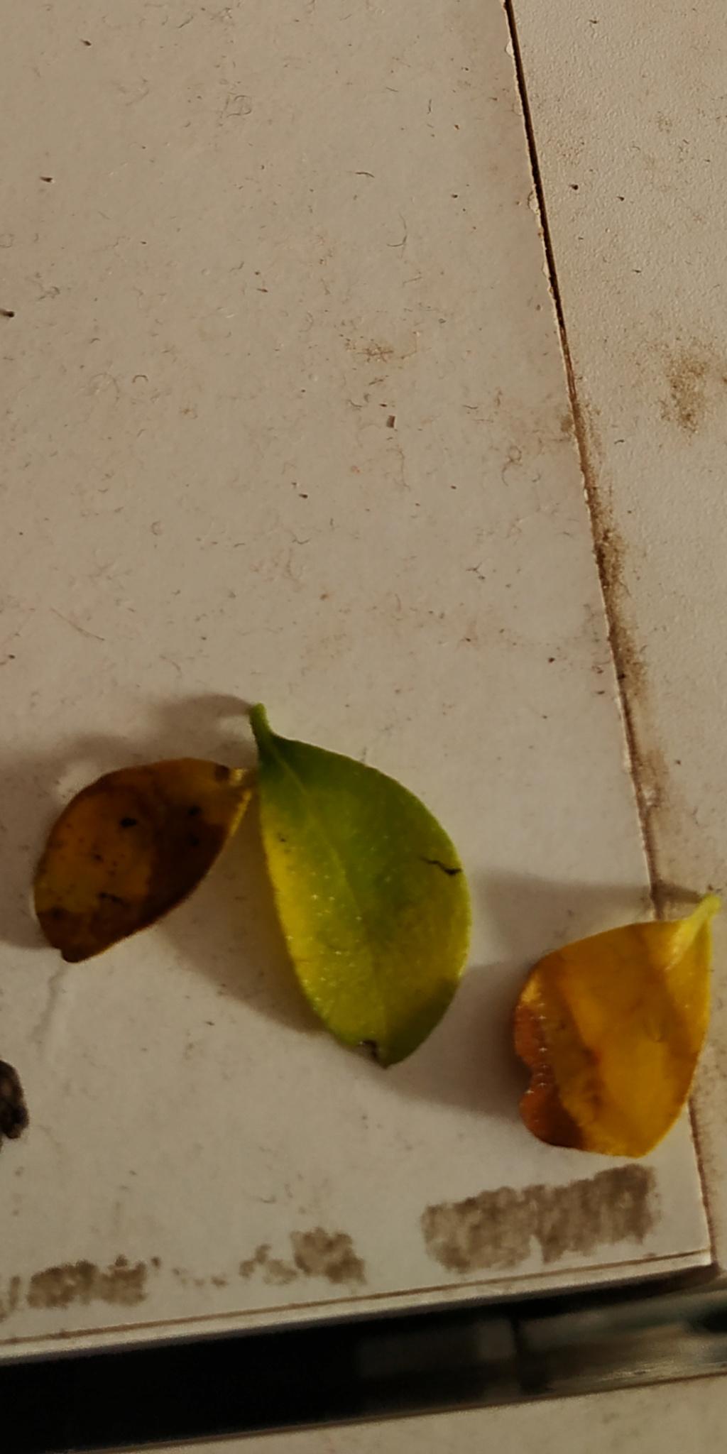 Carmona amarillenta Screen13