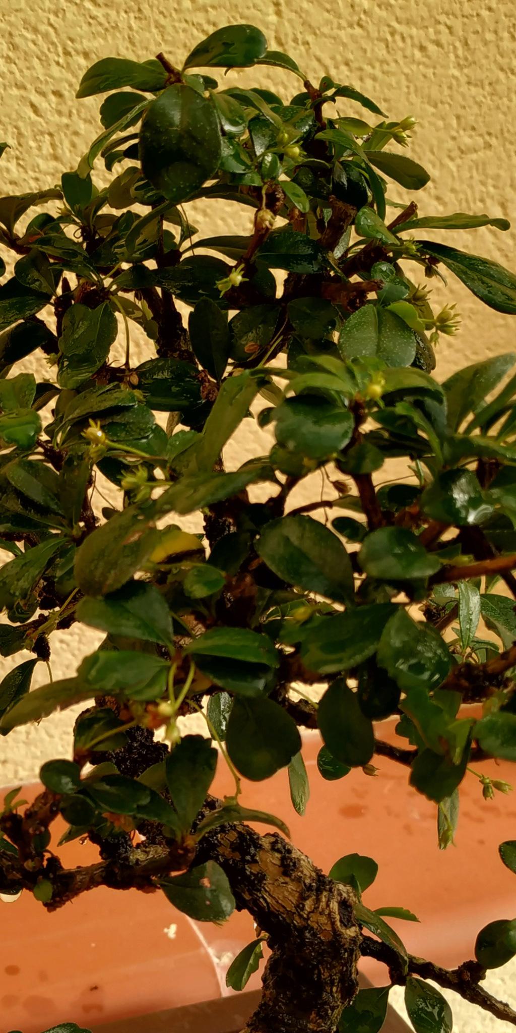 Carmona amarillenta Screen14
