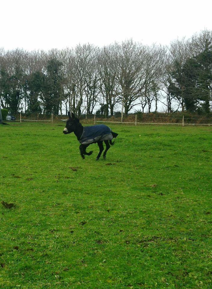 PACO - âne mâle noir - 5 ans (réservé) 81034210