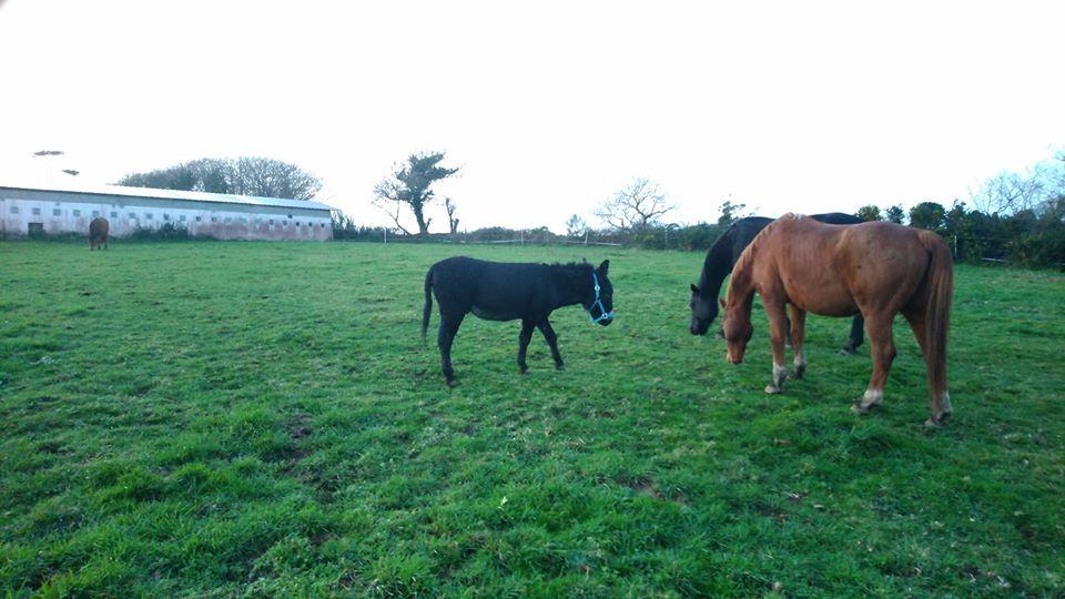 PACO - âne mâle noir - 5 ans (réservé) 81939810