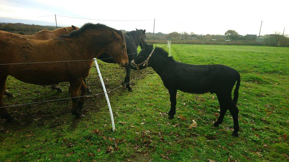 PACO - âne mâle noir - 5 ans (réservé) Paco310