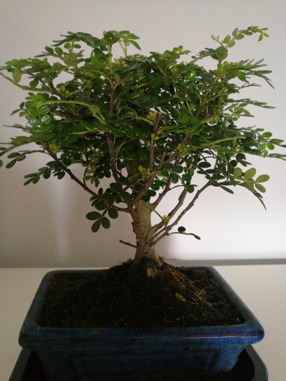 Que bonsai tengo y como lo cuido 2018-011