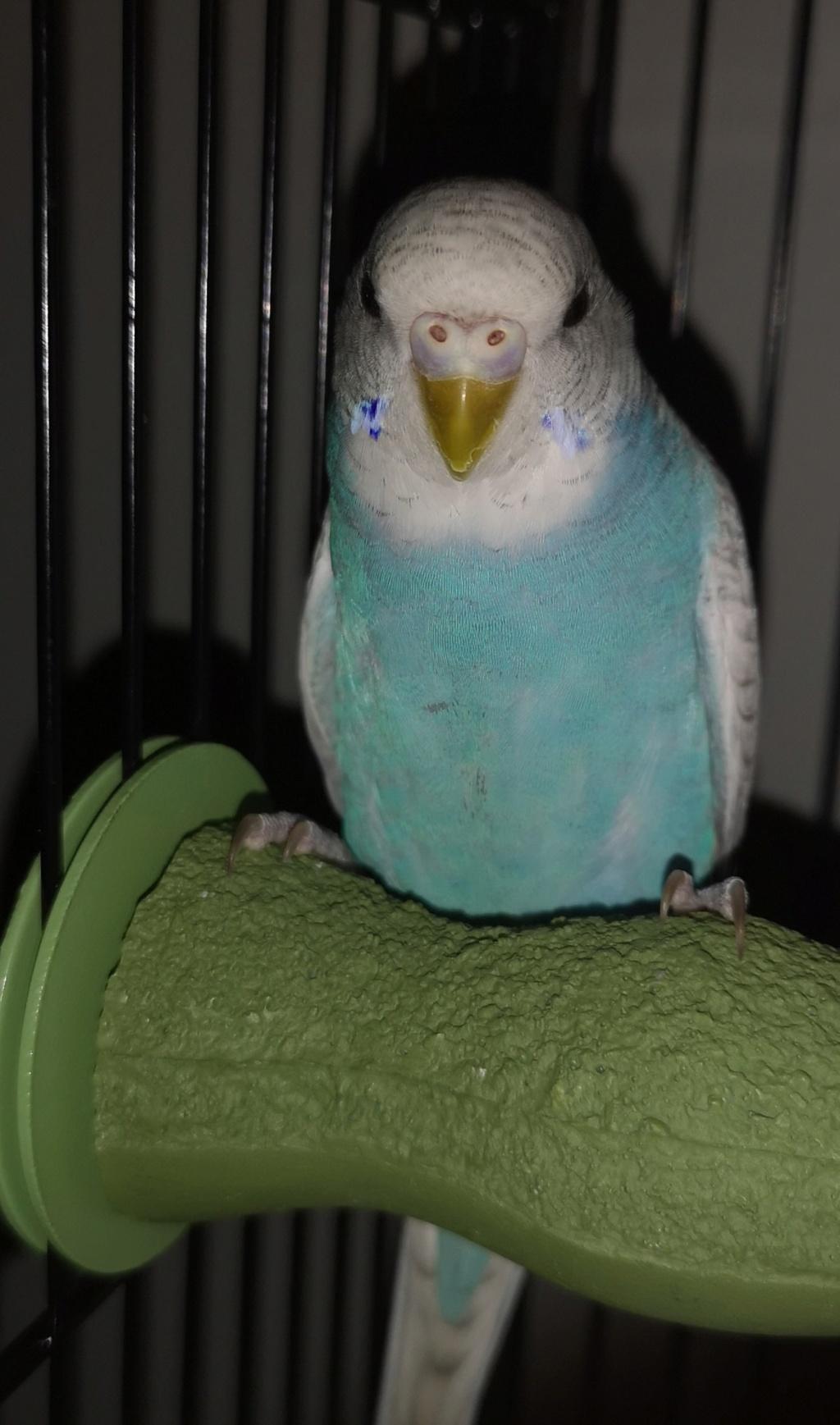 Connaître le sexe de mes perruches Blue10