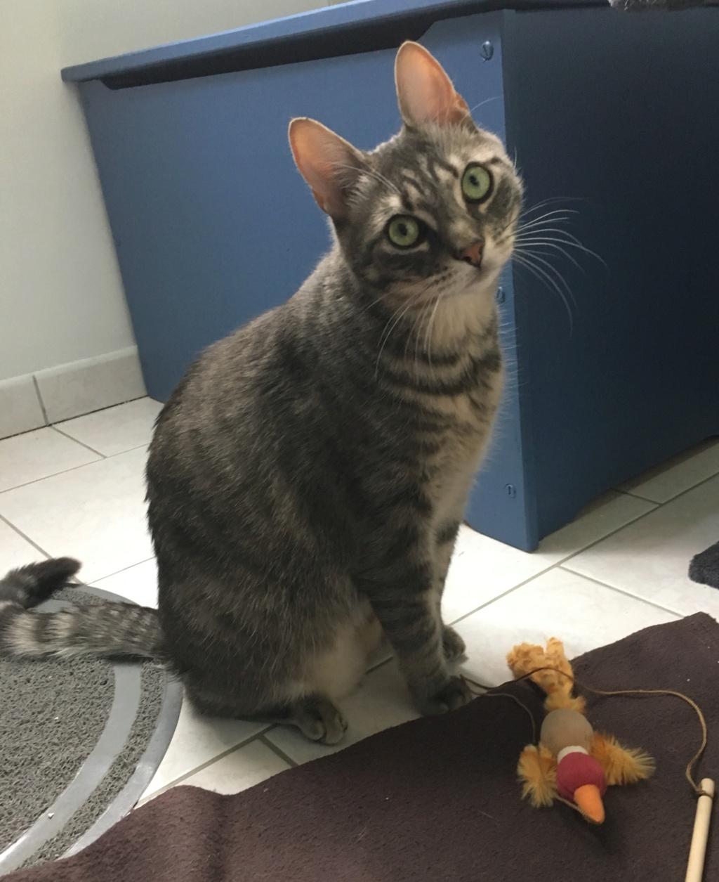 Félix, chat gris tigré, né le 30 juin 2017. 18d23810